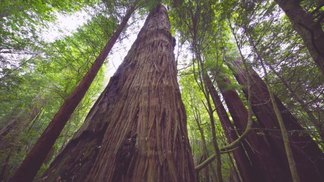 Redwood National and State Parks in 4K - UHD Nature Documentary Film
