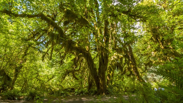 Hoh Rain Forest. Summer