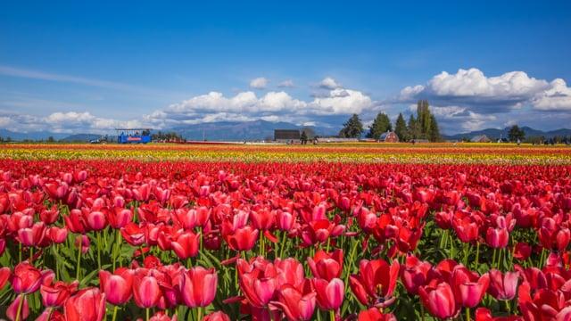 Tulip Festival in WA-5