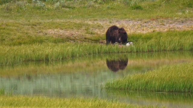 Bears of Yellowstone