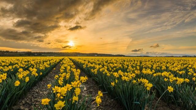 Daffodils in WA