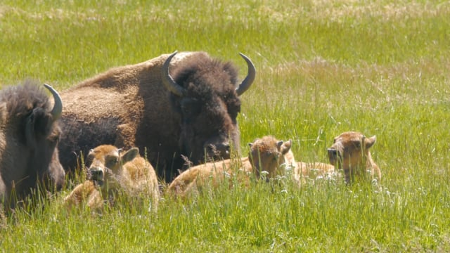 Bisons of Yellowstone