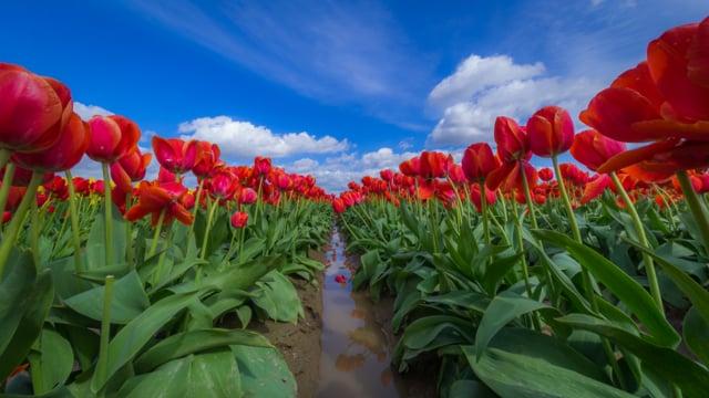 Tulip Festival in WA-1