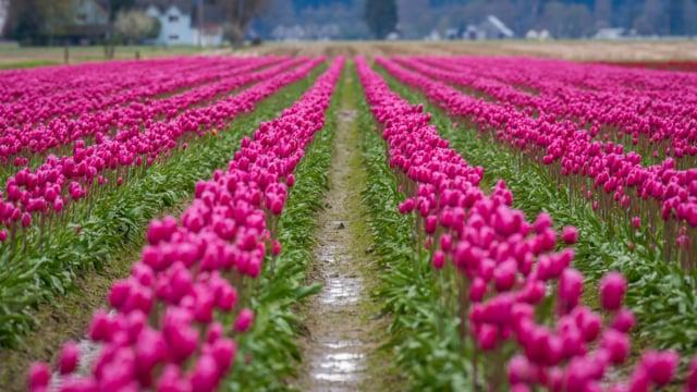 Tulip Festival in WA-2