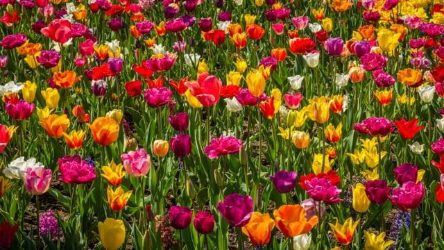 Tulip Festival, Oregon-2