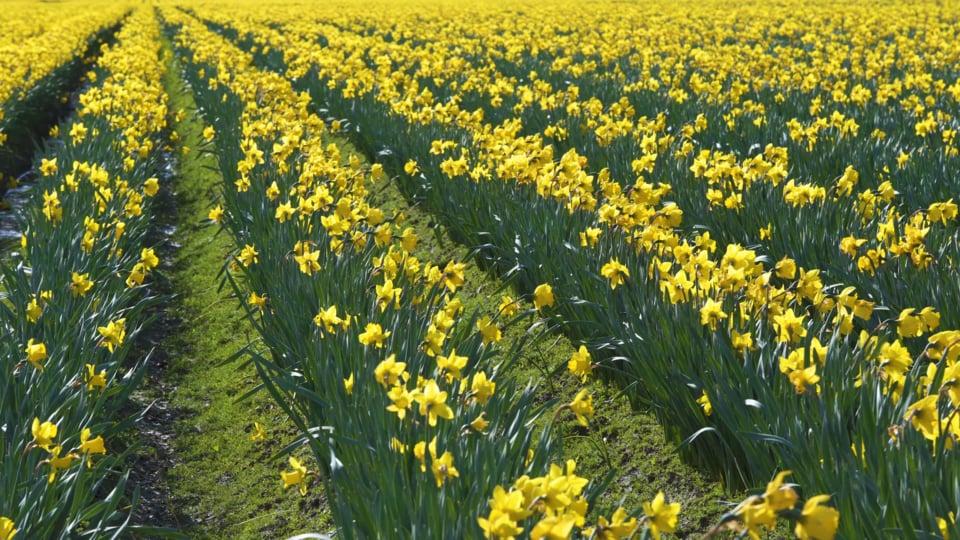Skagit Valley Daffodils - 3