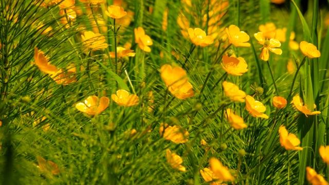 Golden Creeping Buttercups