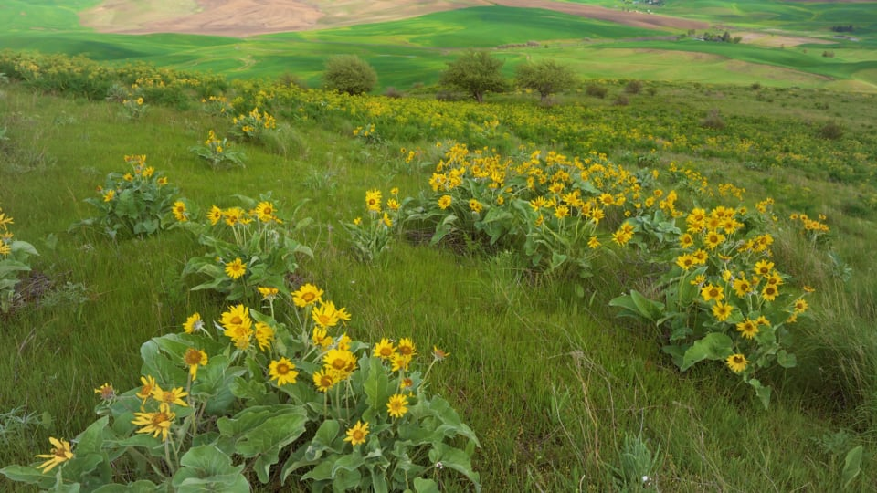 Steptoe Butte State Park, Spring Flowers