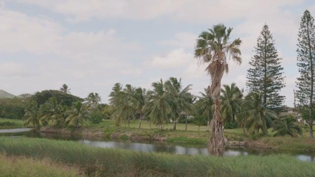 Palm Trees of Oahu Island