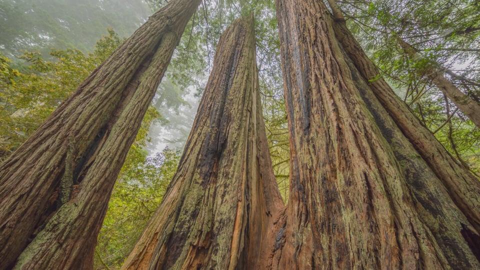 Redwood -1
